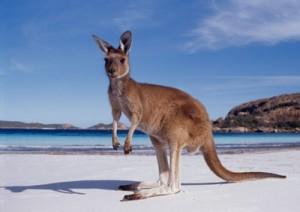 western-australia-kangaroo-